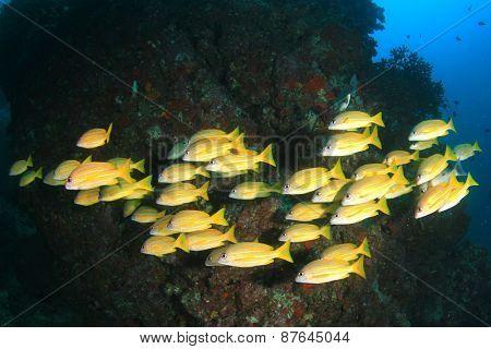 School Bluelined Snapper fish