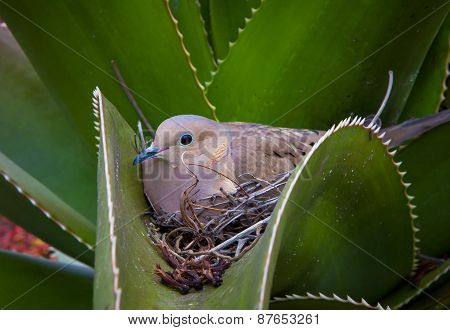 Nesting Mourning Dove Nested In Cactus