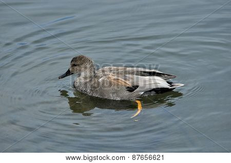 Male Gadwall Duck