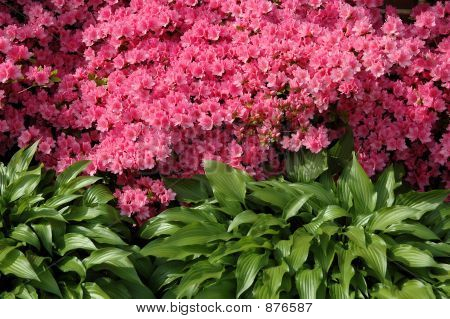 Flowering Azalea Bush