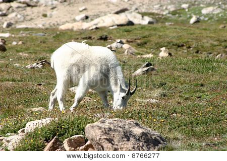 Mountain goat grazing on a rocky hillside of Mount Evans in Colorado. poster