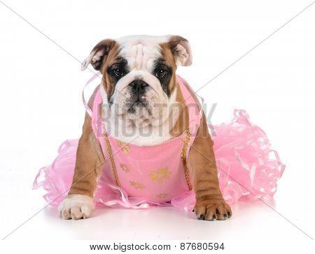 spoiled dog - english bulldog dressed up like a ballerina on white background