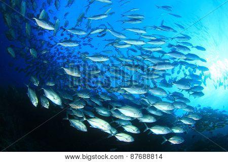 School of fish in ocean (Bigeye Trevallies or Jacks)