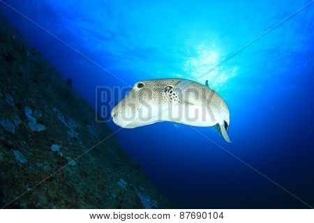 Giant Puffer fish