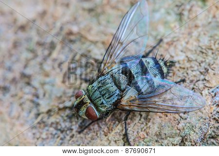 Blow Fly, Carrion Fly