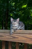 Cute tabby kitten laying on wooden railing in the woods poster