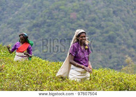 Tamil Women Working Manually In Tea Plantation