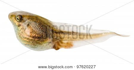 Tadpole Of Frog Close Up Isolated On White