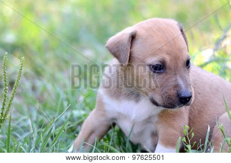 Picture of a Cute amstaff puppy. One month old.