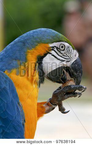 Arara Brazilian Bird