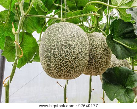 Cantaloupe Melons Growing In A Greenhouse Supported By String Melon Nets