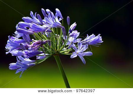 African Blue Lily Latin name Agapanthus africanus