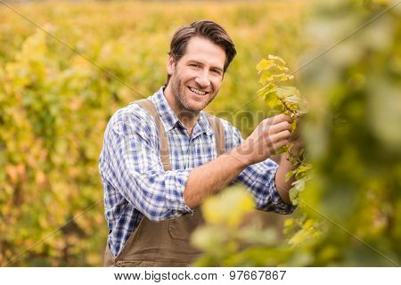 Portrait of a smiling winegrower harvesting the grapes