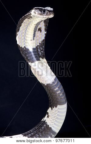 The Thai spitting cobra (Naja siamensis) is a highly venomous snake species found in Southeast Asia. poster