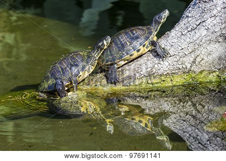 Pond Slider Turtles On A Branch