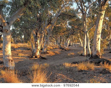 Gum trees in the dry Roe creek river bed  at sunset