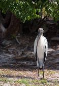 wood stork standing on ground face on poster