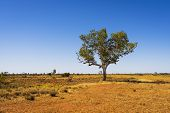 A lone gum tree on the edge of the Great Sandy Desert in the Australian Outback. poster