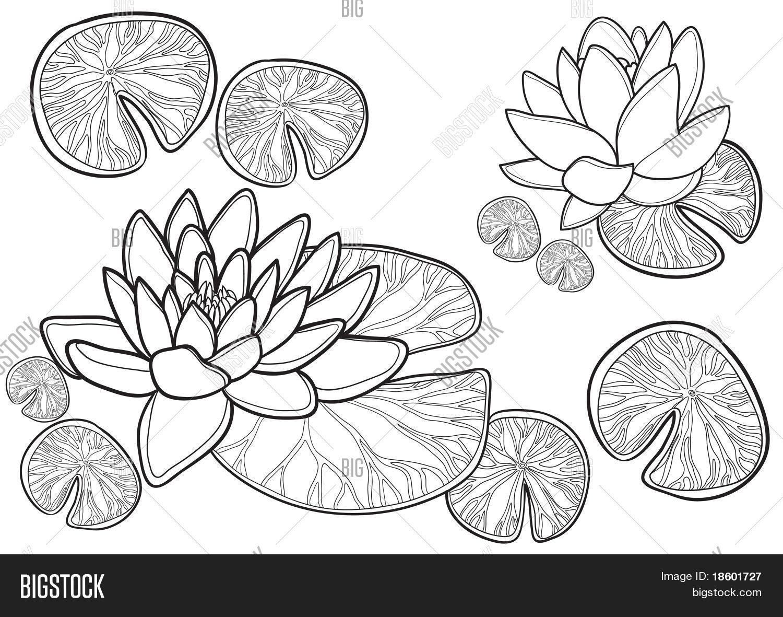 Blossom Lotus Flower Vector Photo Free Trial Bigstock