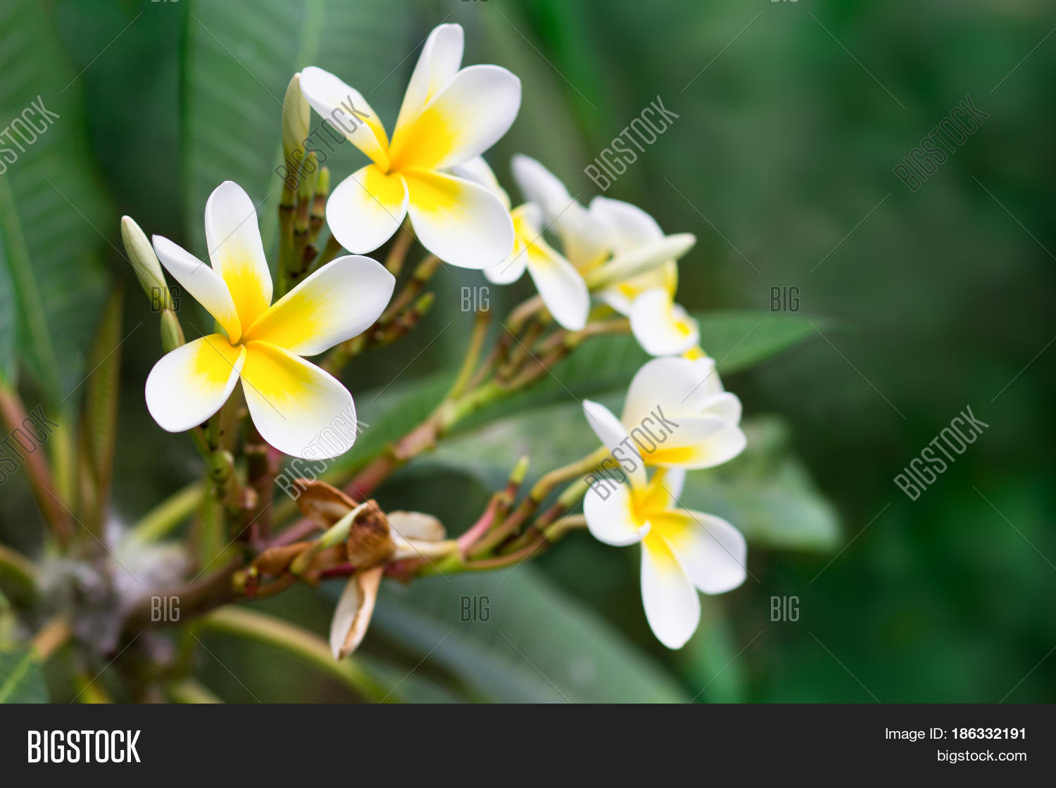 Blossoming Mango Tree Image Photo Free Trial Bigstock