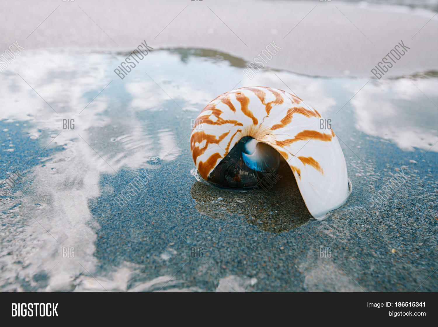 Nautilus Sea Shell On Image Photo Free Trial Bigstock