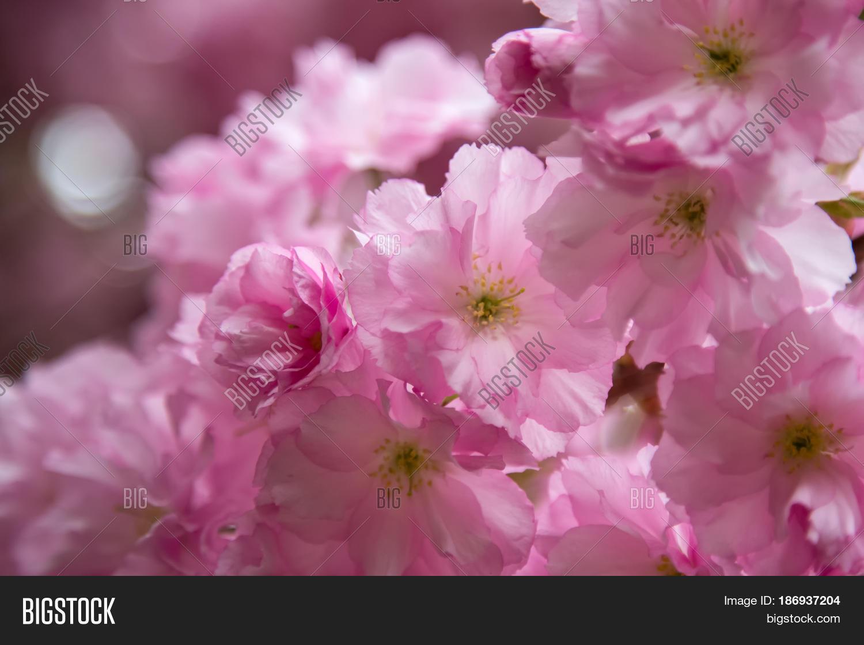 Sakura Spring Flowers Spring Image Photo Bigstock