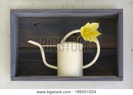 Stunning yellow Tulip in a miniature watering can sat on a wooden  box shelf