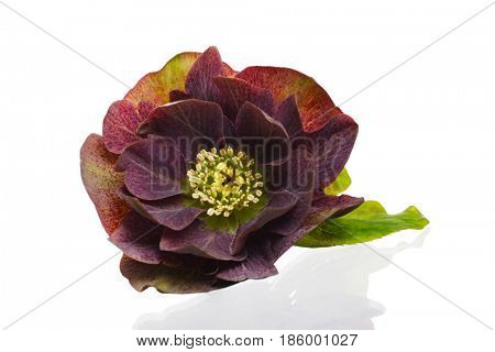 Beautiful Helleborous isolated on a white background.