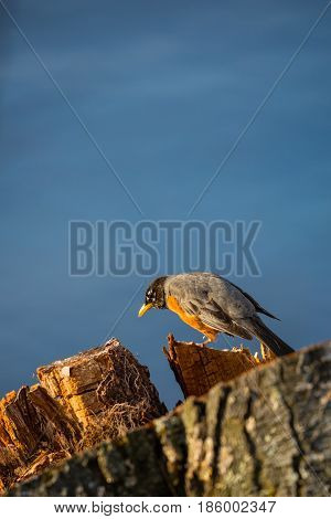 American Robin (Turdus migratorius) walking on a stump in front of a lake