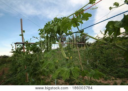 Planting Chinese Bitter Gourd By Providing A Winding On Tightrope .