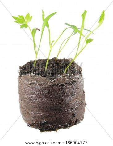 Seedling of lovage (Levisticum officinale) in clod of soil isolated on white background