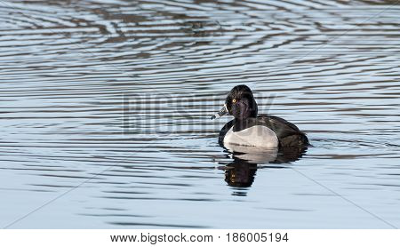 Male (drake) Ring-necked duck (Aythya collaris) in spring.  Black & white duck visits northern lakes and ponds in breeding season.