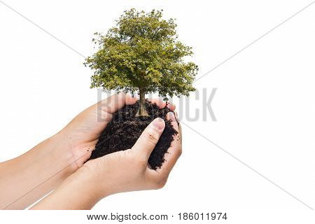 soil in hands , Hands dirty with clay with tree on white background