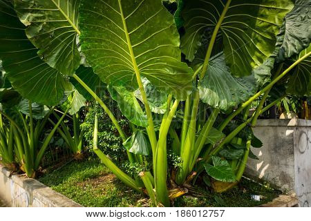 Taro plant with big leaves photo taken in Bogor Indonesia java