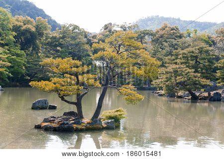 Pinus Thunbergii Or Japanese Black Pine Growing On An Islet Near Kinkaku-ji Or The Golden Pavilion T
