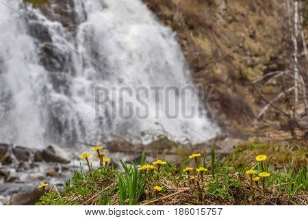 Beautiful natural background with the first spring yellow flowers of the mother-and-stepmother close-up on the background of a falling water of the waterfall
