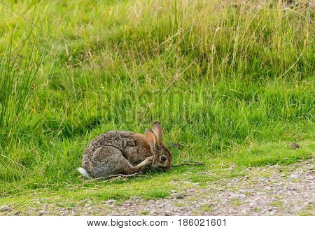 Closeup of a wild rabbit scratching  in its natural habitat