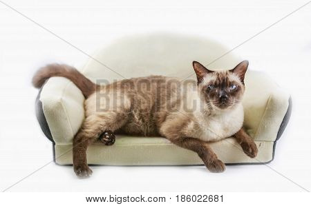 Siamese cat or seal brown cat with grey eyes resting on a cat bed.