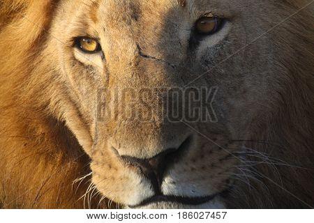 Close-up portrait of a male lion (Panthera leo) in golden light. Ol Pejeta Conservancy Kenya.