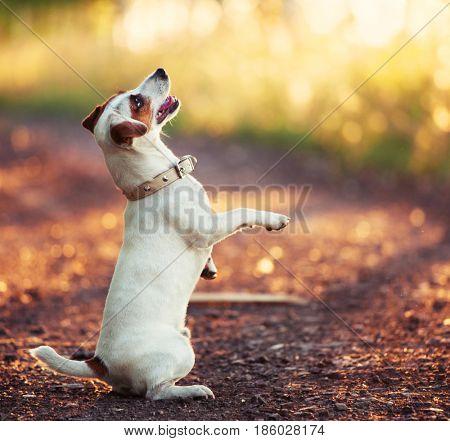 Fun dog at summer. Pet training outdoors