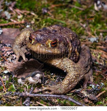 Common or European toad Bufo bufo in early spring close-up portrait selective focus shallow DOF.