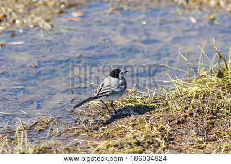 Wagtail walks in a puddle in the spring