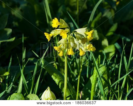 Primrose cowslip or Primula veris blossom close-up selective focus shallow DOF.