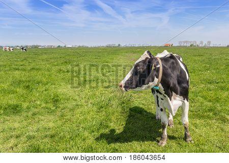 Dutch Holstein Cow In The Farmland Near Groningen