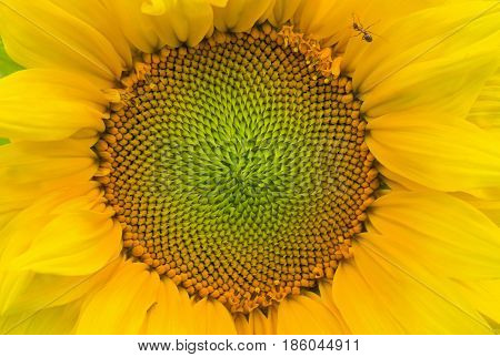 Natural background - closeup sunflower picture .