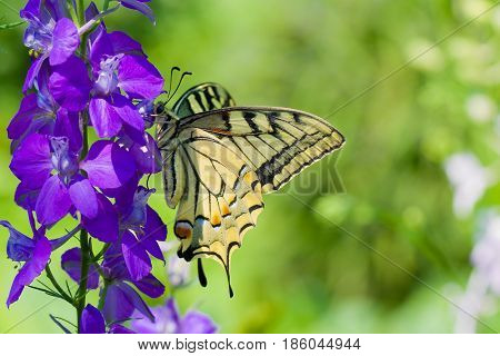 Old World Swallowtail (Papilio machaon) butterfly on a blue flower at bright sunny day.
