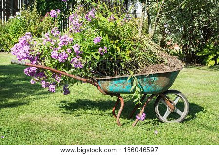 Garden wheelbarrow full of phloxes in a garden. Household plot.