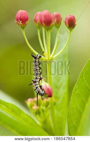 Plain tiger (Danaus chrysippus) caterpillar is feeding on its host plant - blood flower