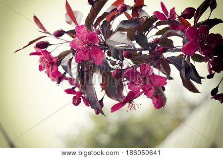 Pink Flowers, Fruit Tree Spring Blossom Background.spring Summer Time