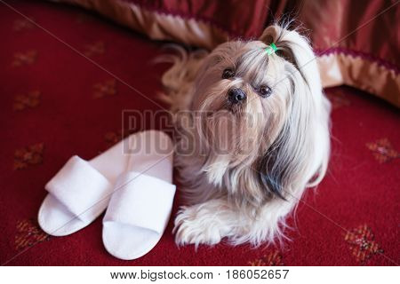 Shih tzu dog lying on red carpet with owner slippers in luxury interior